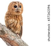 Stock photo tawny owl strix aluco isolated on white background 657262396