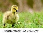 One Small Yellow Baby Goose ...
