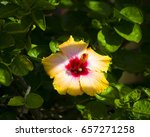 bright yellow suffused with...   Shutterstock . vector #657271258