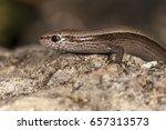 snake eyed skink  ablepharus... | Shutterstock . vector #657313573