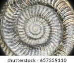 Ammonites Fossil Shell Large...