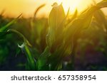 corn plantation in sunset ... | Shutterstock . vector #657358954
