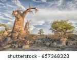 landscape with baobab trees and ...   Shutterstock . vector #657368323