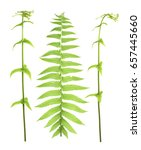 Small photo of pteridophyte or fern isolate on white ,clipping paths