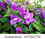 Purple Bougainvillea Flowers...