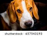 beagle dog portrait | Shutterstock . vector #657543193