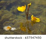 bladderwort   utricularia...   Shutterstock . vector #657547450