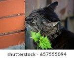 cat head sniffing brick fence | Shutterstock . vector #657555094