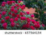 Stock photo red roses bush 657564154