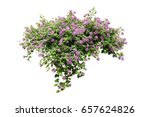 Stock photo purple flower lily vine bush tree isolated tropical plant on white background with clipping path 657624826