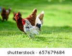 rooster and hens on traditional ... | Shutterstock . vector #657679684