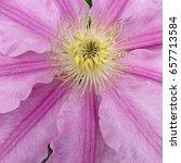 Pink Clematis Close Up