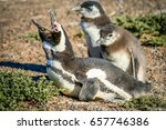 magellanic penguins at punta... | Shutterstock . vector #657746386