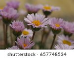 macro photo of a pink daisy... | Shutterstock . vector #657748534