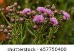 beautiful flower of purple... | Shutterstock . vector #657750400