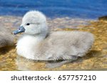 Close Up Of A Cygnet In The...
