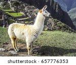 posed llama standing in front... | Shutterstock . vector #657776353