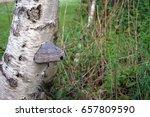 Hoof Fungus  Fomes Fomentarius...
