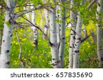 Aspens And Wildflowers