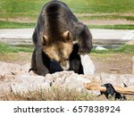 close up of adult grizzly bear... | Shutterstock . vector #657838924