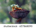 flying frog  frogs  tree frog    Shutterstock . vector #657868090