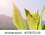 close up common tobacco  the... | Shutterstock . vector #657872110
