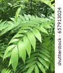 green leaf | Shutterstock . vector #657913024