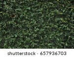 tree ivy creeper leaf... | Shutterstock . vector #657936703