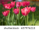 flowering red tulips on a city... | Shutterstock . vector #657976213