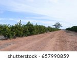 Rows Of Orange Trees In A Rural ...