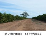 A Dirt Road Between 2 Rows Of...
