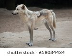 Small photo of Northwestern wolf (Canis lupus occidentalis), also known as the Mackenzie Valley wolf.