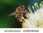 Macro With Bee On The Onion...
