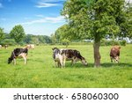 norman black and white cows... | Shutterstock . vector #658060300