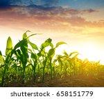 green corn field in the sunset. | Shutterstock . vector #658151779