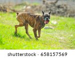 a brown boxer dog outside. | Shutterstock . vector #658157569