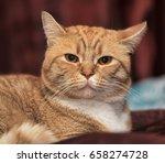 plump red cat | Shutterstock . vector #658274728