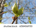 Small Leaves Of Poplar On The...