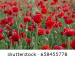 flowers red poppies blossom on... | Shutterstock . vector #658455778