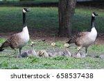 Canadian Goose Gander And...