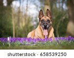 Old Dog In The Crocuses