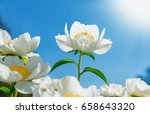 Stock photo flower peony flowering against the background of white flowers spring flowers 658643320