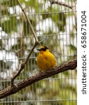 Small photo of African golden oriole is a bright yellow bird with a black mask known scientifically as Oriolus auratus.