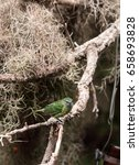 Small photo of Spotted Tanager known as Tangara punctate is found in Brazil, Peru and Venezuela