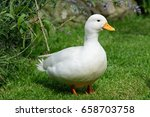 White Male Call Duck
