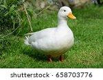 White Male Call Duck