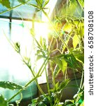 achocha cyclanthera pedata in... | Shutterstock . vector #658708108
