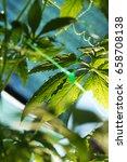achocha cyclanthera pedata in... | Shutterstock . vector #658708138