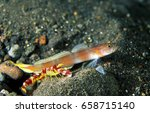 Small photo of Flag tail Goby,Amblyeleotris yanoi, and Randall s Shrimp, Alpheus randalli Sulawesi, Indonesia