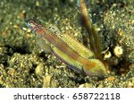 Small photo of Flagtail shrimpgoby, Amblyeleotris yanoi, Sulawesi Indonesia.